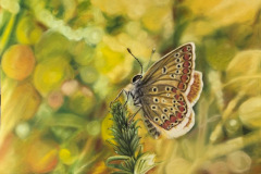 butterfly-drawing-polyomatus-agestis