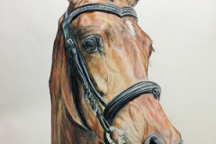 colored-pencil-young-show-horse-drawing