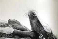 sleeping-foal-drawing