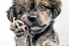 Bichon Havannais puppy