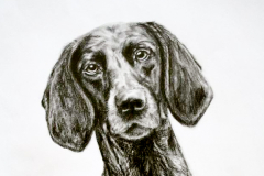 black and white realistic pencil drawing of german short-haired pointer sitting