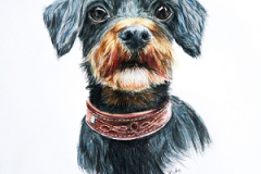 Black-and-tan-Bichon-Havanais-color-pencil-drawing