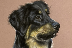 Black-and-tan-hovawart-portrait