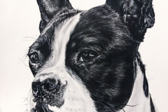 realistic black and white pencil drawing of a boston terrier portrait