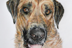 colored pencil portrait drawing of mixed breed dog