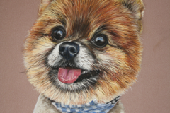 realistic pastel pencil drawing of pomeranian dog with scarf