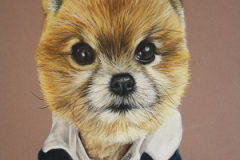 realistic pastel pencil drawing of a pomeranian dog with jacket on